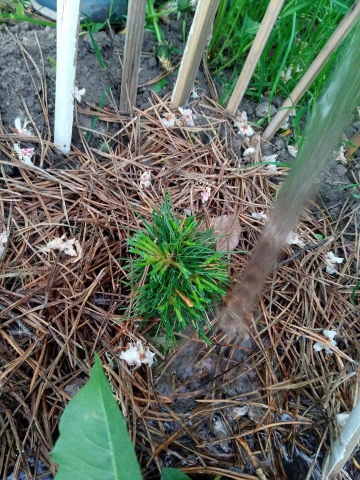 Выращивание кедров как бизнес 73